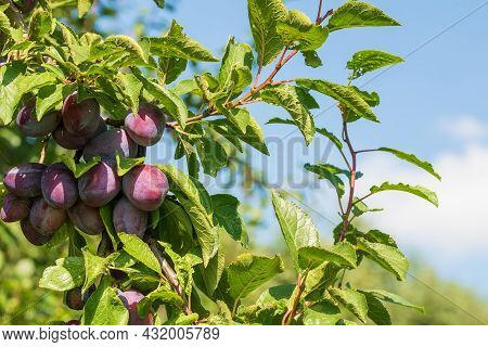 Close-up Of Ripe Plums On Tree Against Blue Sky