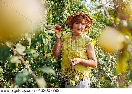 Senior Woman Gathering Ripe Organic Apples In Summer Orchard. Farmer Putting Fruits In Metal Basket