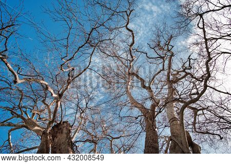 Autumn Leafless Tree Branches On A  Blue Cloudy Sky Background, View From Below.
