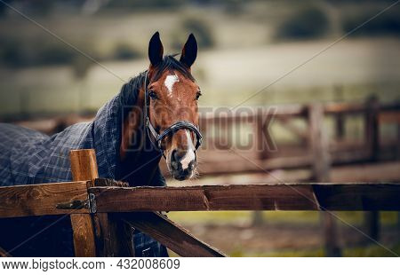 Portrait Of A Horse On A Walk. A Bay Stallion In A Halter And A Blanket Walks In The Levada. Horse M