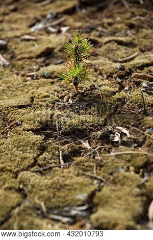 Arid And Drought-cracked Land With A Small Newly Born Fir