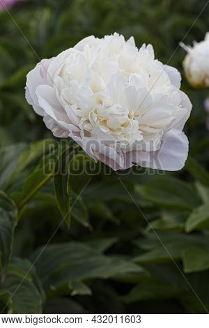 Flower Double White Blush Peony Vogue, Blooming Paeonia Lactiflora  In Summer Garden On Natural Blur