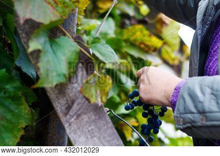Defocus Woman Holding Bunch Grape. Red Wine Grapes On Vine In Vineyard, Close-up. Winemaker Harvesti