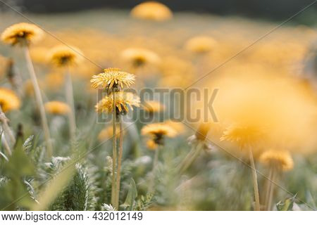 Spring Green Field With Yellow Dandelions On A Sunny Day. Romantic Landscape Panorama, Copy Space.