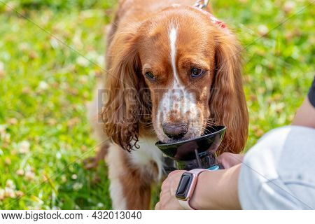 Cocker Spaniel Dog Drinks Water On A Hot Summer Day, Dog Drinks Water From The Hands Of The Mistress