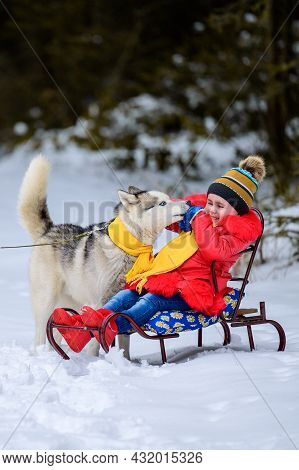 A Girl On A Sleigh Plays With Her Pet Husky, Winter Games With A Dog, Winter Joys.