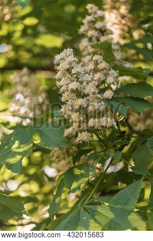 White Flowers And Green Leaves Of A Chestnut Tree.