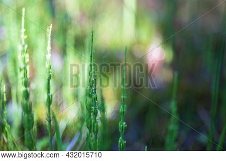 Green Meadow On Which Grows Horsetail. There Are Drops Of Morning Dew On The Grass On Which The Sun