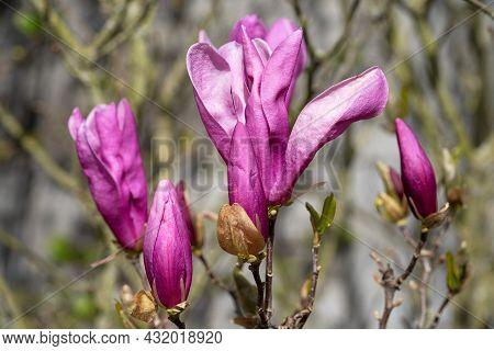 Tulip Magnolia (magnolia Liliiflora), Close Up Image Of The Flower Head