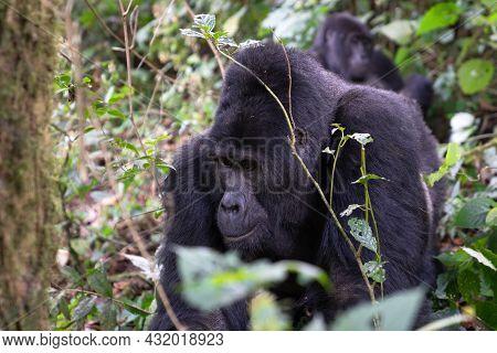 Close Up Image Of Gorilla Within The Forest Of The Bwindi National Park, Uganda, Africa