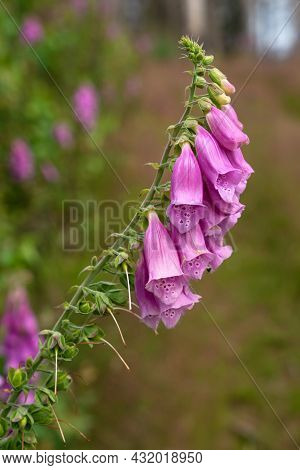 Purple Foxglove (digitalis Purpurea), Close Up Of The Forest Plant