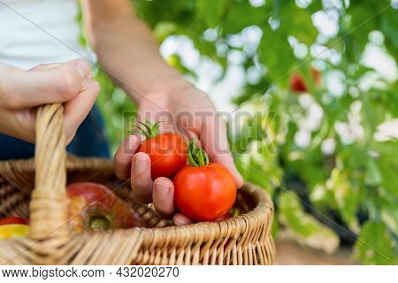 Close-up Detail View Of Female Farmer Hand Show Harvesting Fresh Ripe Red Tomatoes In Wicker Basket
