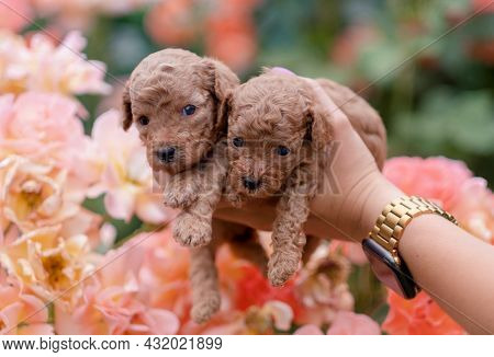 Three Red Toy Poodles Are Sitting On A Bench In The Garden. Cute Picture Of Puppies On A Floral Back
