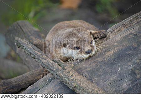 European Otter (lutra Lutra), Also Known As Eurasian Otter