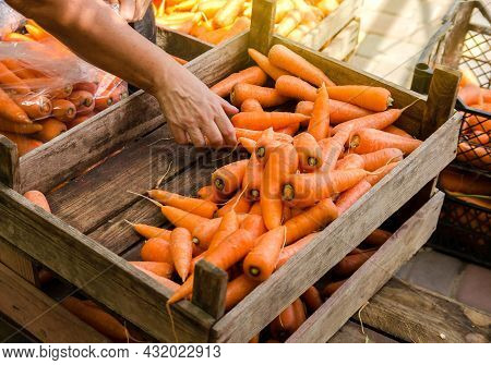 The Farmer Packs The Fresh Crop Of Carrots Into Bags For Sale. Freshly Harvested Carrot. Harvesting