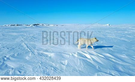 Wolf Dog Over The Tundra In The Frozen Sea, Walking, Rear View, Alone Wolf Dog In The Artic