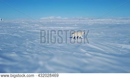Wolf Dog Over The Tundra In The Frozen Sea. Walking Wolf Dog Rear View