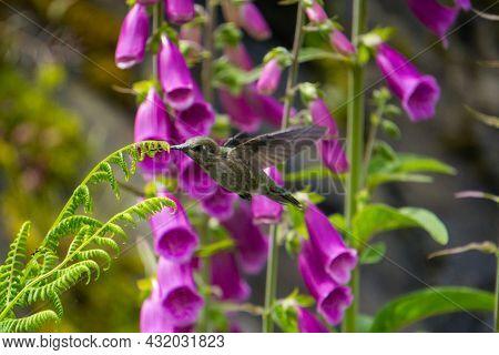 A Hummingbird Feasting On Bright Pink Foxglove