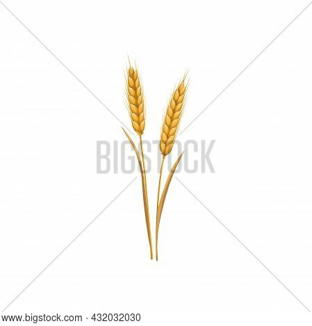 Wheat Or Rye Grain Ear And Barley Spike, Vector Isolated Icon. Wheat Or Rye Cereal Plant, Autumn Har
