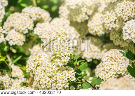 Flowering Hawthorn Bushes In Spring. Delicate White Flowers On A Branch With Juicy Green Leaves Clos