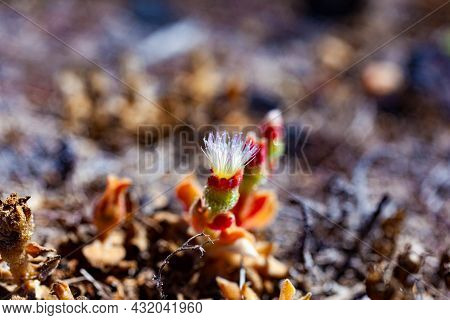 Close Up Of Mesembryanthemum Crystallinum Flowers. It Is A Prostrate Succulent Plant Covered With La