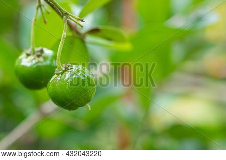 Close-up Of Unripe Green Cherries Hanging From A Branch With Green Leaves. Space For Text. Sweet Org