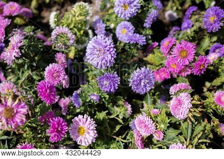 Flowers of China Aster, Annual Aster (Callistephus chinensis Nees)