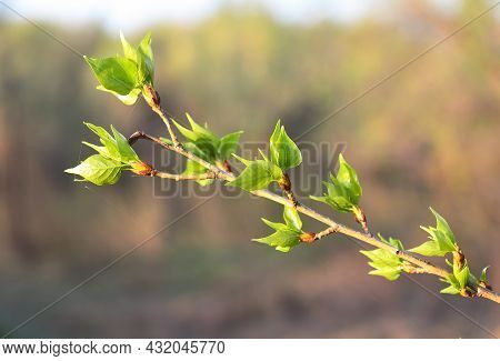 Fresh Lime Leaves In Spring. Blooming Green Leaves On A Tree Branch Close-up, Plant Veins, Blurred B