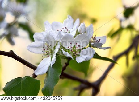 White Flower Petals With Stamens Close-up In Spring In Sunlight On A Yellow Background. Nature Siber