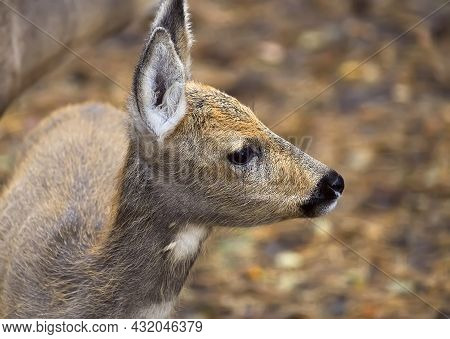 The Head Of A Young Siberian Roe Deer. Cute Wild Animal Close-up In Profile On A Blurry Colored Back