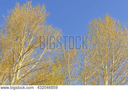 Branches Of Trees In The Spring Early In The Morning In The Sunlight Against A Clear Blue Sky. Pure