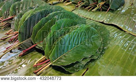 Kratom Leaves Or Mitragyna Speciosa. Fresh Green Kratom Leaves Stacked On Moist Banana Leaves For Sa