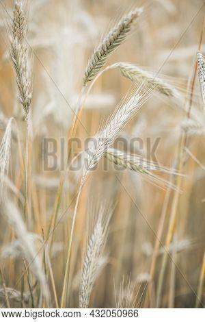 Wheat Closeup On Wheat Field. Beauty Nature