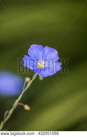 Bright Delicate Blue Flower Of Decorative Flax Flower And Its Shoot On Grassy Background. Agricultur