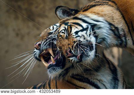 Cuddling Tigers. Sumatran Tiger (panthera Tigris Sumatrae).