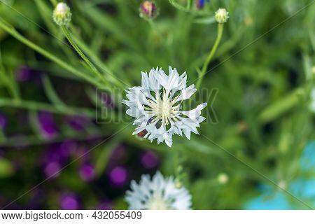 Blue Cornflower Or Sowing Cornflower (centaurea Cyanus) Annual, Biennial Herbaceous Meadow Plant;  S