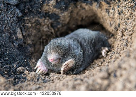 European mole emerging from its tunnel in the mole hill