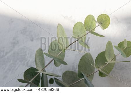 Abstract Floral Background, Light Background With Eucalyptus Leaves, Blurred Texture With Selective