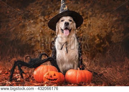 A Dog Dressed As A Witch For Halloween. A Golden Retriever Sits In A Park In Autumn With Orange Pump