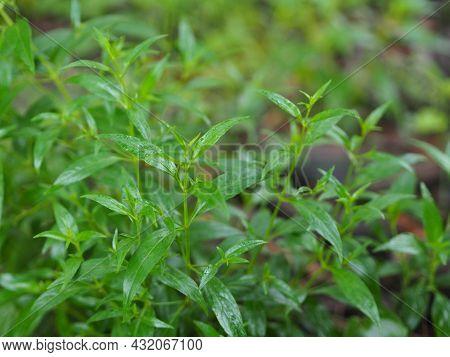 Thai Herbs King Of Bitter Scientific Name Andrographis Paniculate Burm, Fah Talai John, Green Vegeta