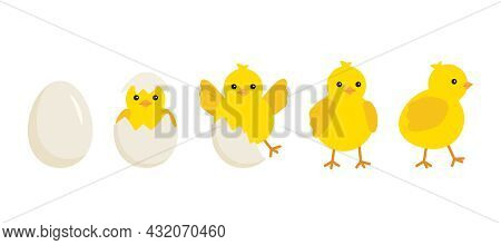 Cute Baby Chick Born From An Egg. Chicken Hatching Stages. Newborn Little Yellow Cartoon Chicks For