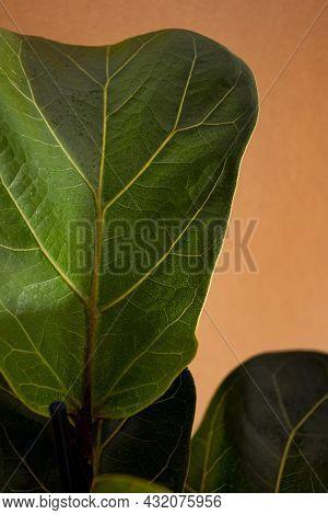 Green Leaves Of Fiddle Fig Or Ficus Lyrata. Fiddle-leaf Fig Tree The Popular Ornamental Tropical Hou