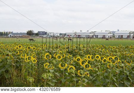 Sunflower Blooms In The Field. Sunflower Natural Background. Blooming Sunflower. Nature Concept.