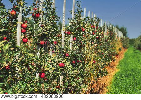 Row Of Trees With Ripe Red Fruits On Apple Orchard