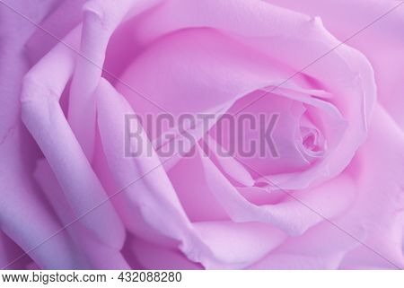Buds of pink rose close-up.Focus on senter and on the edges of petals of the bud. Purple eustoma flower. Purple rose petals. Blue Rose