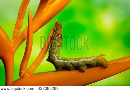 White-lined Sphinx Moth caterpillar (Hyles lineata) klimbe on yellow heliconia over green background