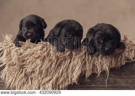 group of adorable little labrador retriever puppies laying in vintage wooden box and looking around in studio on beige background