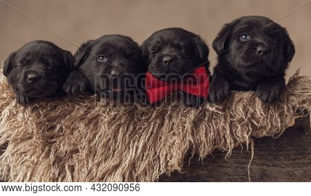 happy family of four little labrador retriever puppies wearing red bowtie, looking up, sticking out tongue and sleeping in a furry wooden box on beige background in studio