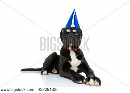 cool cane corso puppy wearing  birthday hat, sunglasses and bowtie and looking up and laying down isolated on white background in studio