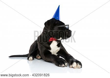 black cane corso dog wearing birthday hat, bowtie, sunglasses and looking to side, laying down on white background in studio